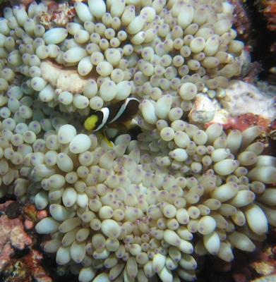 clownfish_and_anemone_2