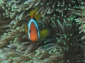 clownfish_and_anemone_1